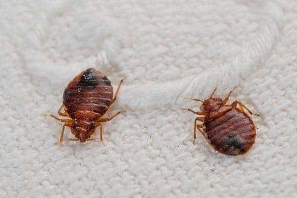 Bed Bugs are Color Specific- Study Claims!