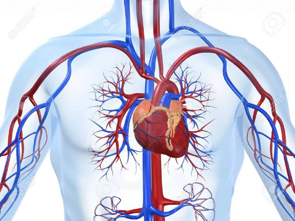 4696206-cardiovascular-system-Stock-Photo-cardiovascular-disease-heart